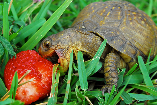 Turtle Attacks Strawberry!